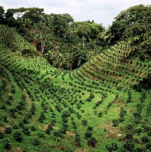 plantaciondecafeencolombia